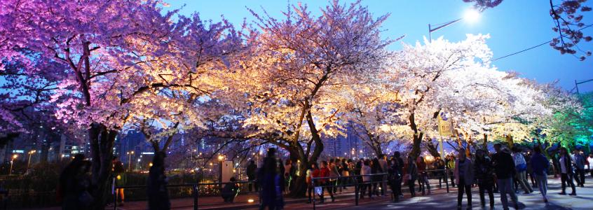 Yeongdeungpo Yeouido Spring Flower Festival